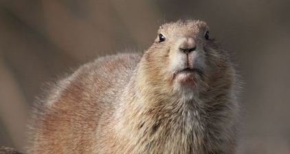 Confused groundhogs deliver mixed weather prognosis