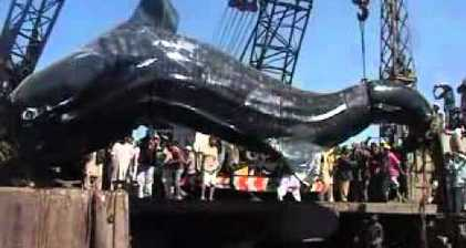 Dead whale shark hoisted onto Karachi pier